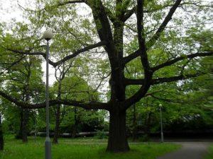 pomniki przyrody w gdansku -dąb czerwony